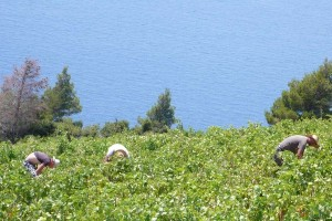 Peljesac-vineyard-harvest-Croatia_big